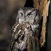 Little Screech Owl