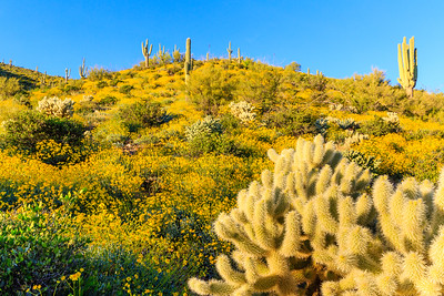 Desert Wildflowers - 2