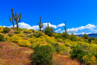 Desert Wildflowers - 1