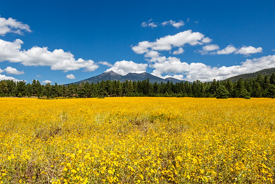 Flagstaff Wildflowers