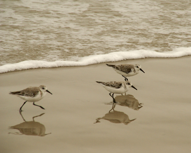A few photos from the Port Aransas sandcastle competition in Texas over last weekend. The ight was not great but the birds were plentiful.