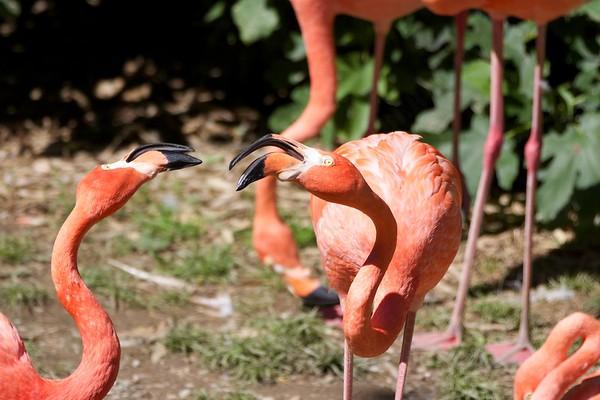 American flamingos wrangle