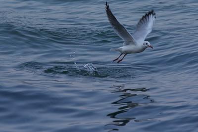gulls at Iseo lakeshore