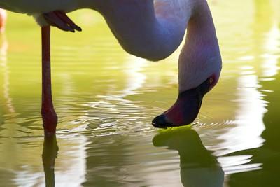 Thirsty Lesser Flamingo