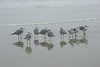 Shore Birds Reflections Tybee Island