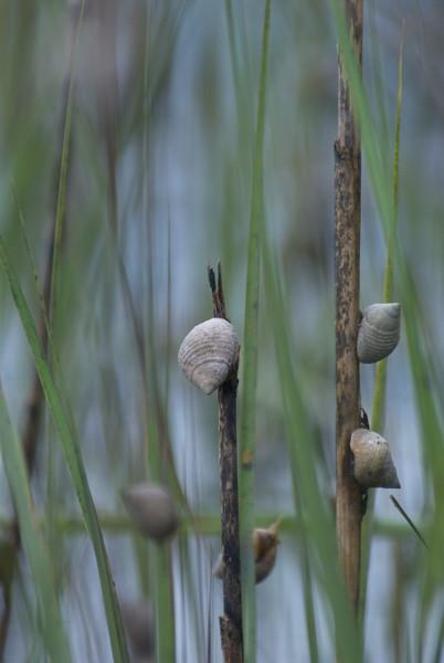 Perriwinkle Snails on Marsh Grass