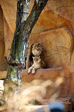 Two lions staring at me.
