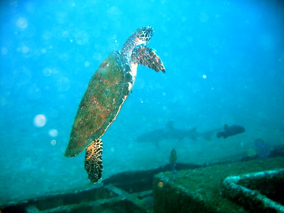 Sea Turtle with Shark in the Background