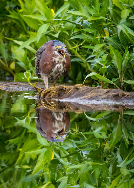 Green Heron Lunch, Pine Creek, Chico CA