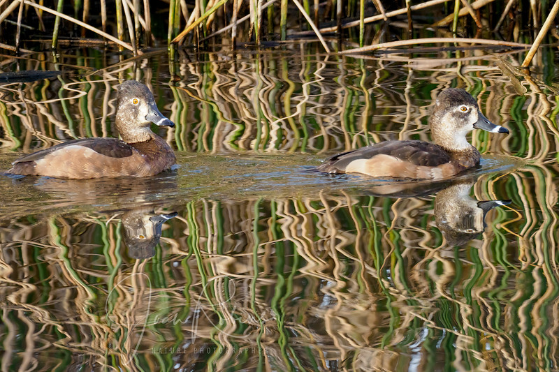 Female Ring-necked Ducks