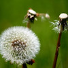 """Don't loose your head"" <br /> As this dandelion is now the only one left, he will soon join his friends in their state."