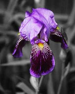 iris 8x10