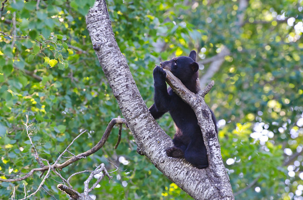 Black Bear Cub - Minnesota