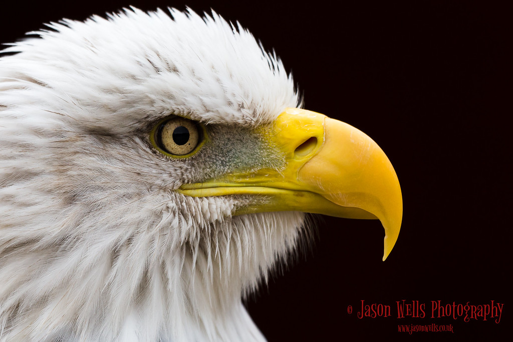 Up close with a Bald Eagle.