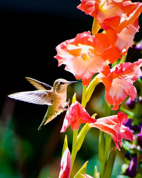 Hummingbird and Gladiolas