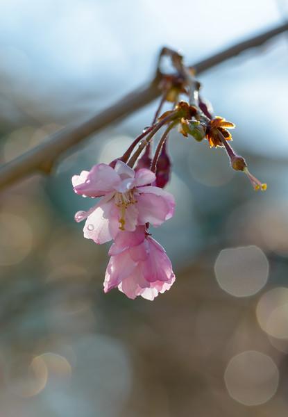 Cherry Blossom Bokeh