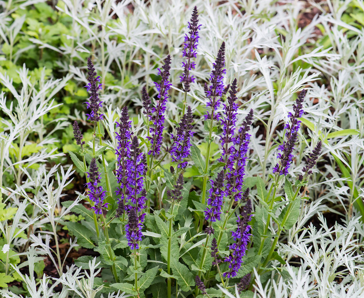 Salvia Patch