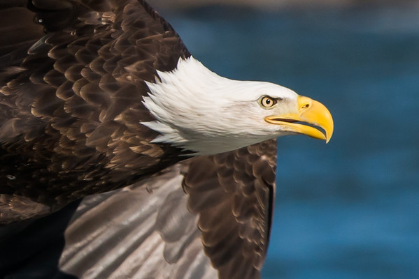 American Bald Eagle - Conowingo, Maryland
