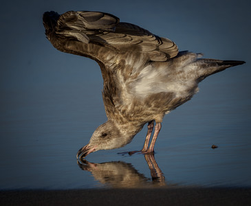 Face Down Gull