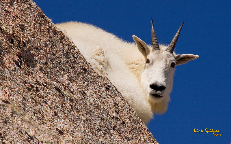 A Rocky Mountain Goat on Mt Evans