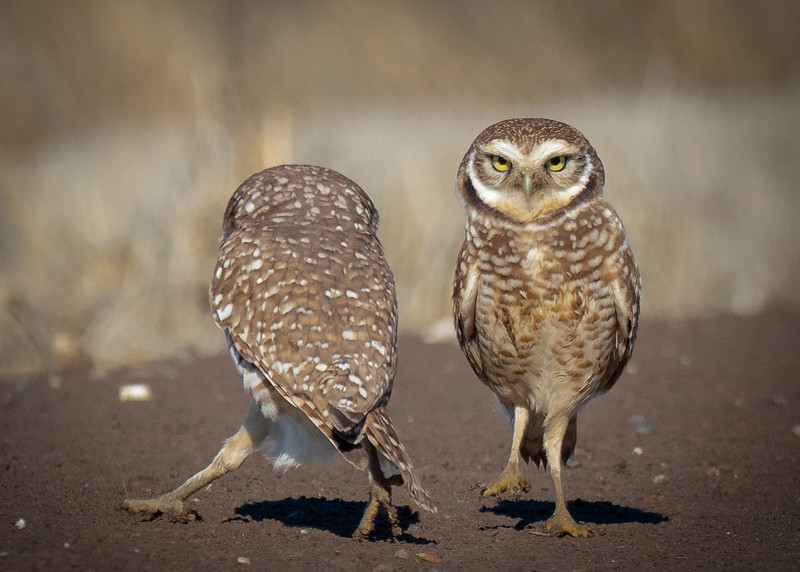 Burrowing Owls, Durham CA