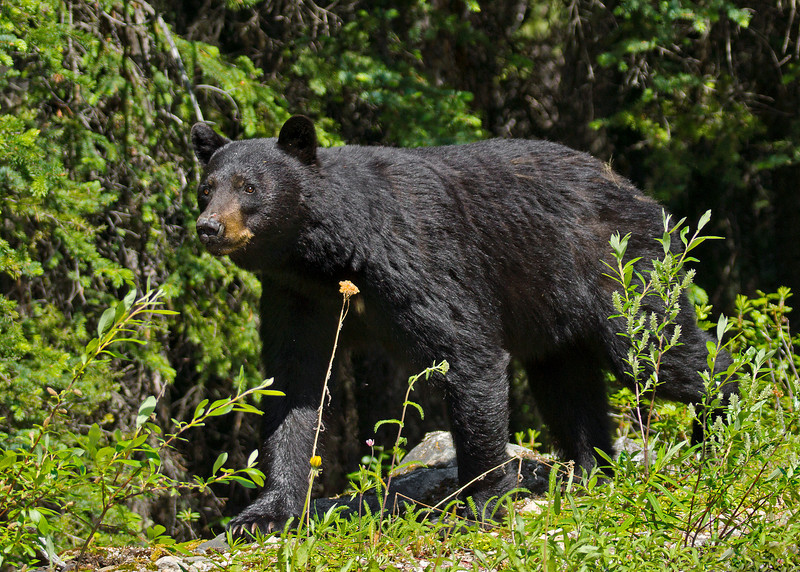 Male Black bear. At this point, the baby cub ran and climbed up the tree in fear. Possibly a hostile male bear.