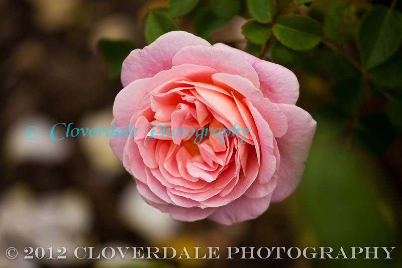 Rose-3100-2