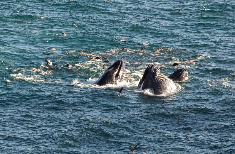 Feeding Frenzy! Humpbacks, gulls, seals