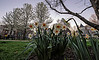 Rising Daffodils