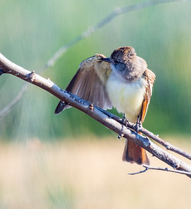Rufous-tailed Flycatcher
