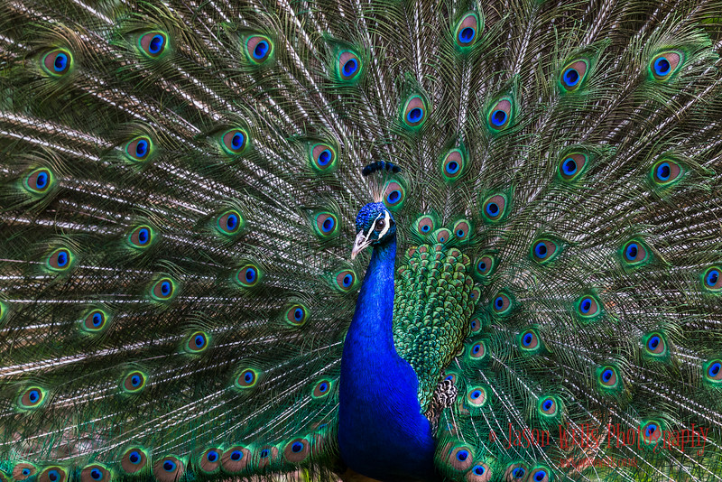 A beautiful peacock/peafowl spreading it's pretty wings.