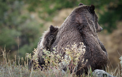 Grizzly Mom and Cub in Yellowstone