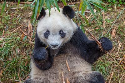 Giant Panda, Chengdu China
