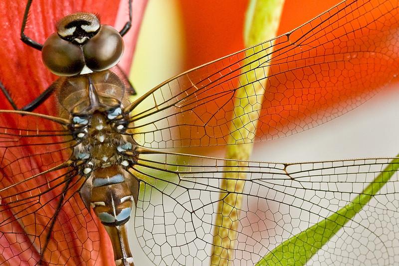 Dragonfly on Lily -- Minnesota.