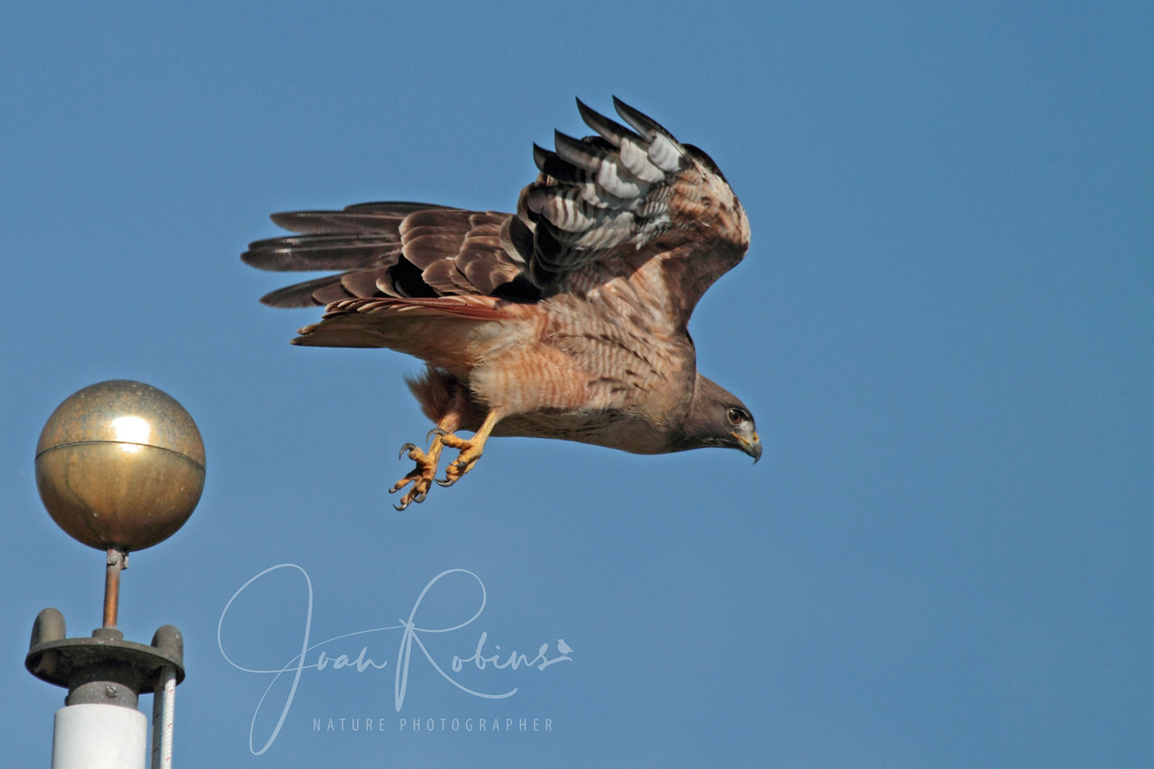 Redtail at Civic Center