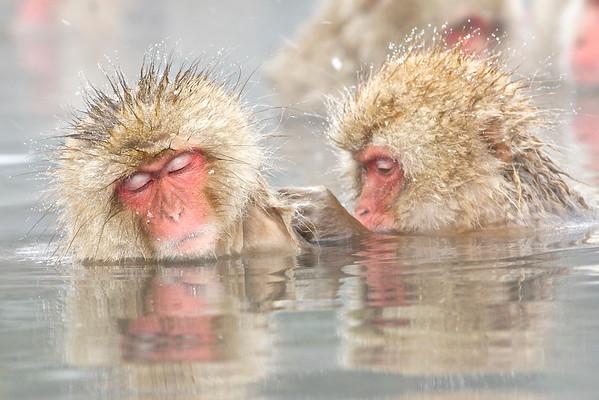 Snow Monkey in Bath