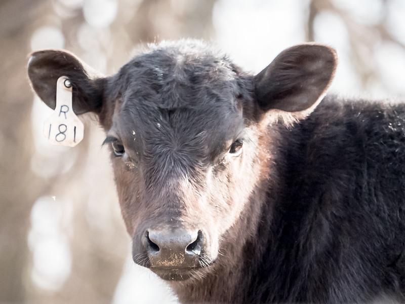 Cow 181