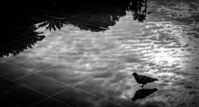 """BIRD REFLECTION"" (Serial No.: 20131105-6156) Pigeon watching himself in the mirror created by the still water on Coulée Verte, Nice, Côte d'Azur, France."