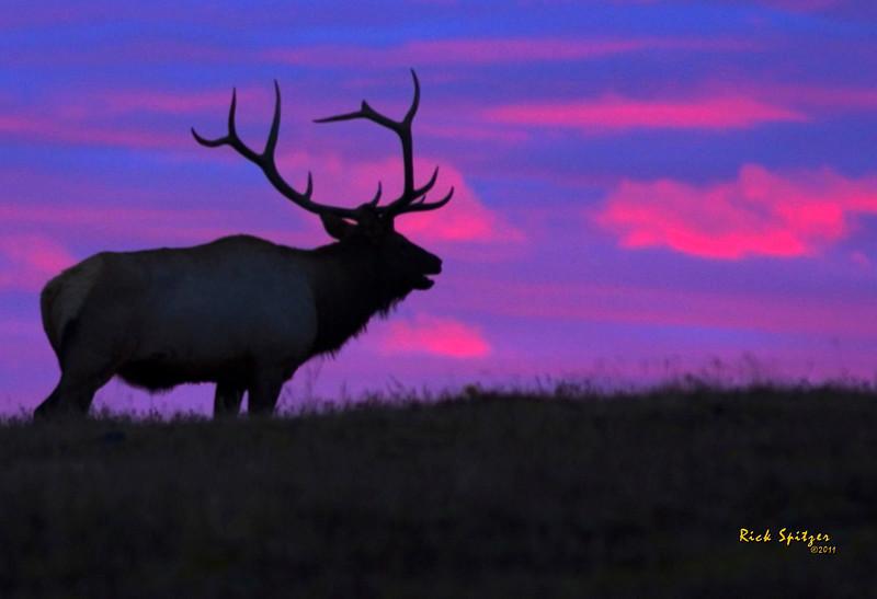 Bulk Elk at Sunrise on Trail Ridge Road