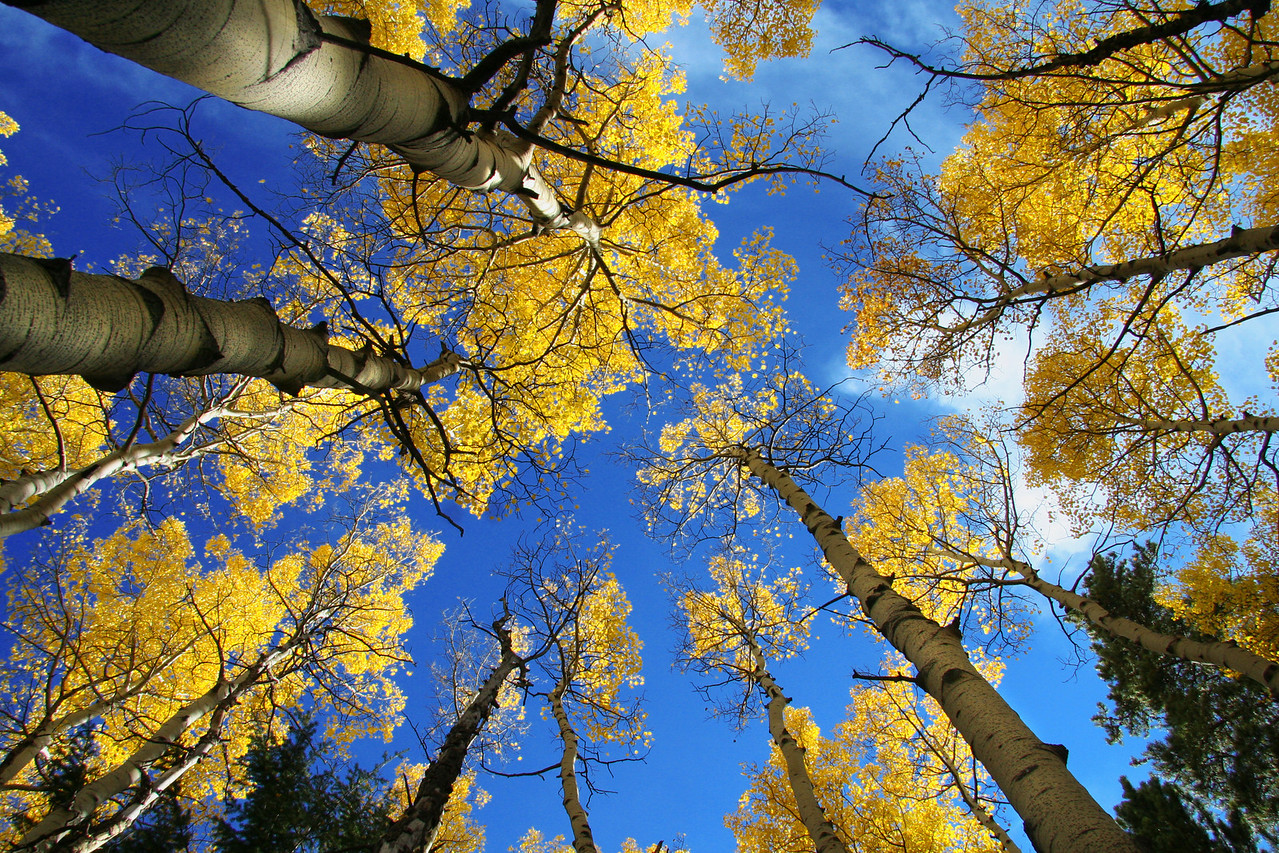 Aspen Grove, Rocky Mountain National Park, CO