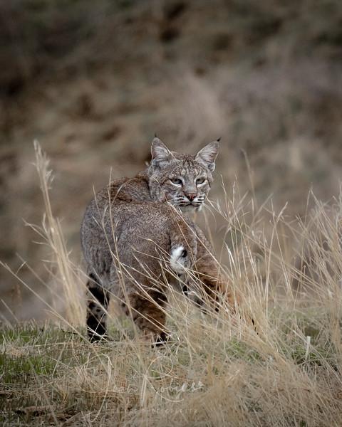 Bobcat in Hollister CA