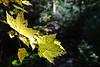 Fissured Foliage