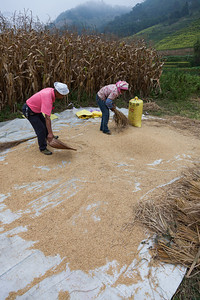 Rice threshing and gathering in China