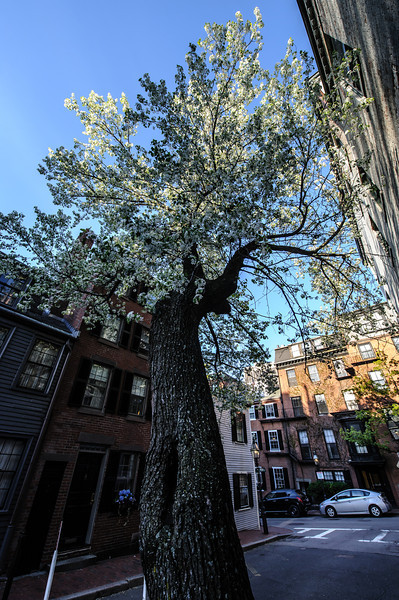 Beacon Hill Bloom
