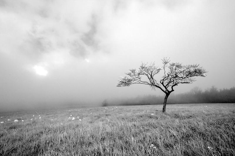 Lonely Dogwood. Blue Ridge Parkway, VA