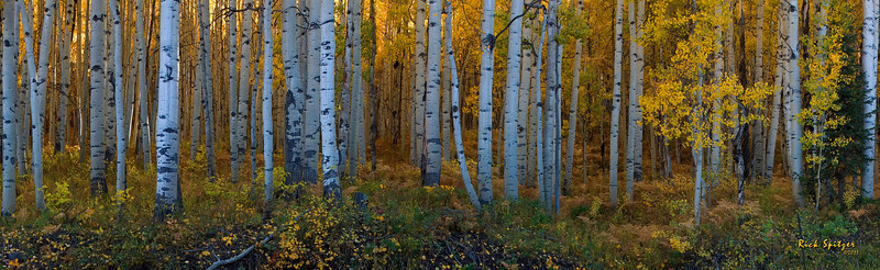 Aspen Grove Panorama on Kebler Pass