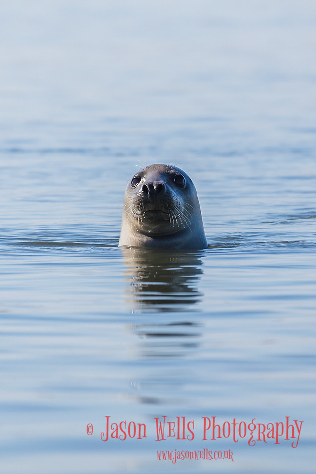 Portrait of a Grey seal.