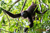 Howler monkey reaching out.