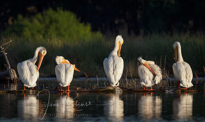 White Pelicans at Dawn