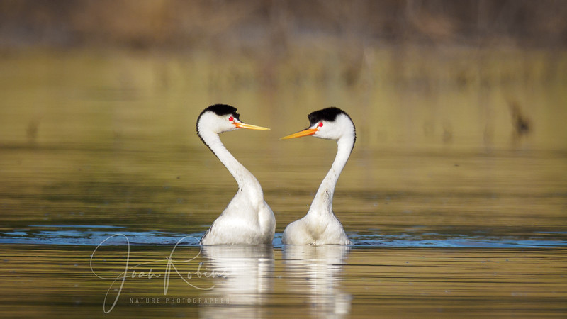 Clark's Grebes - Reciprocal Postures